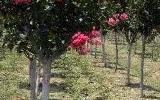 江苏8公分9公分紫薇树价格更便宜