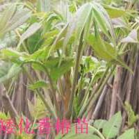 青岛哪里卖香椿苗,青岛香椿苗价格,香椿苗0.3元一棵100棵起批