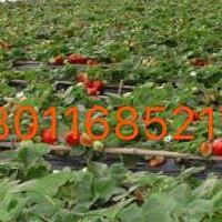 安庆草莓大棚建设/安庆草莓大棚价格/安庆草莓大棚建造