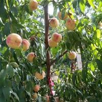 安徽合肥批发供应3公分占地果树苗,3公分占地桃树苗价格