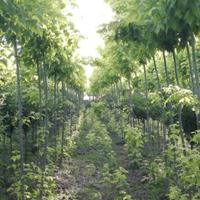 潍坊金叶复叶槭种植基地大量供应金叶复叶槭树苗